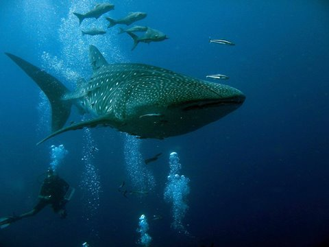 20160725 Whale Shark 2.JPG