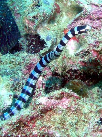 26アオマダラウミヘビ.jpg